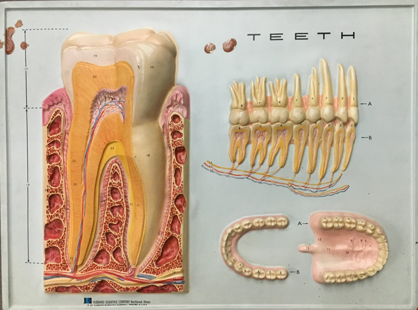 Vintage 3D Anatomy Chart- Teeth
