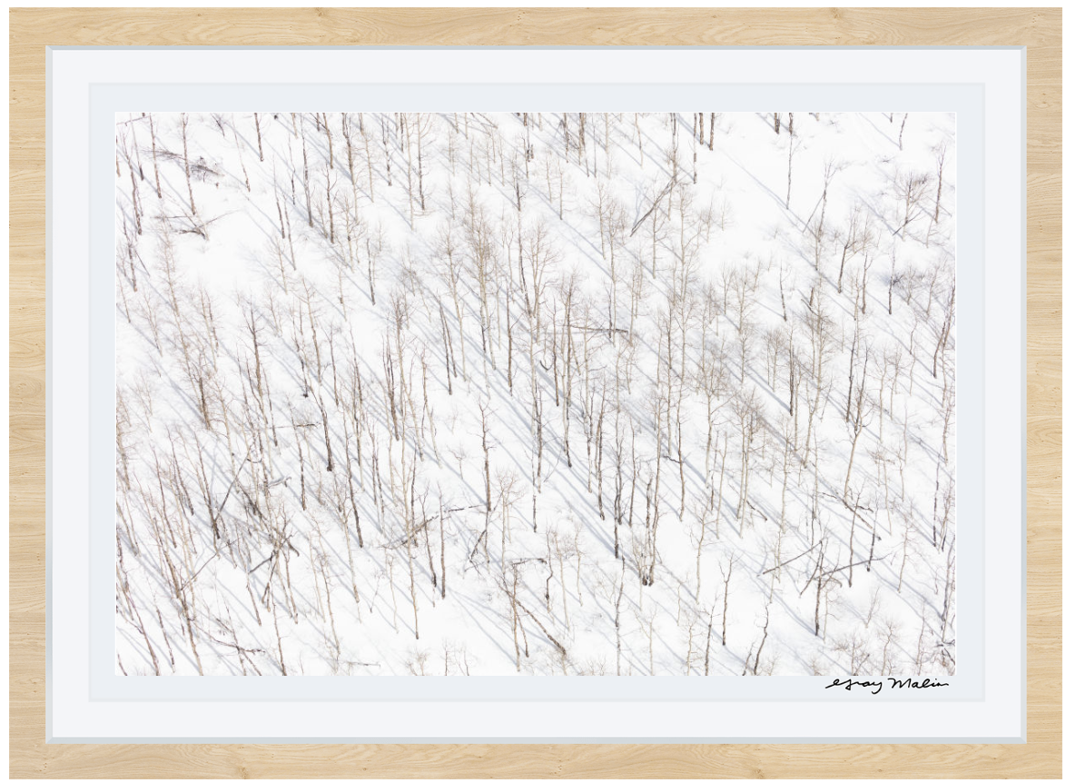 Snowy Birch Trees À la Montagne Gray Malin