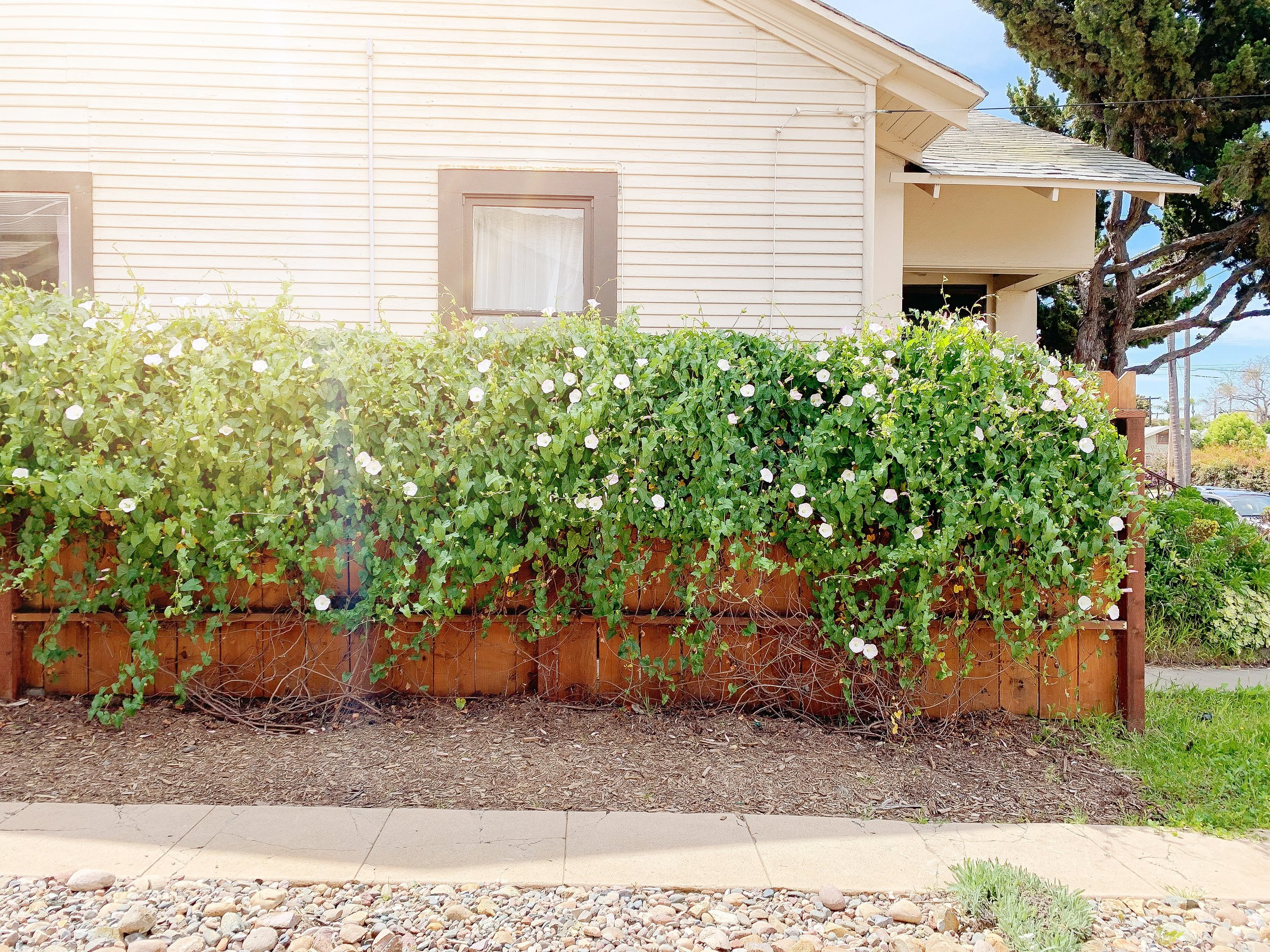 How to train vines to climb a fence and how to refresh an old fence