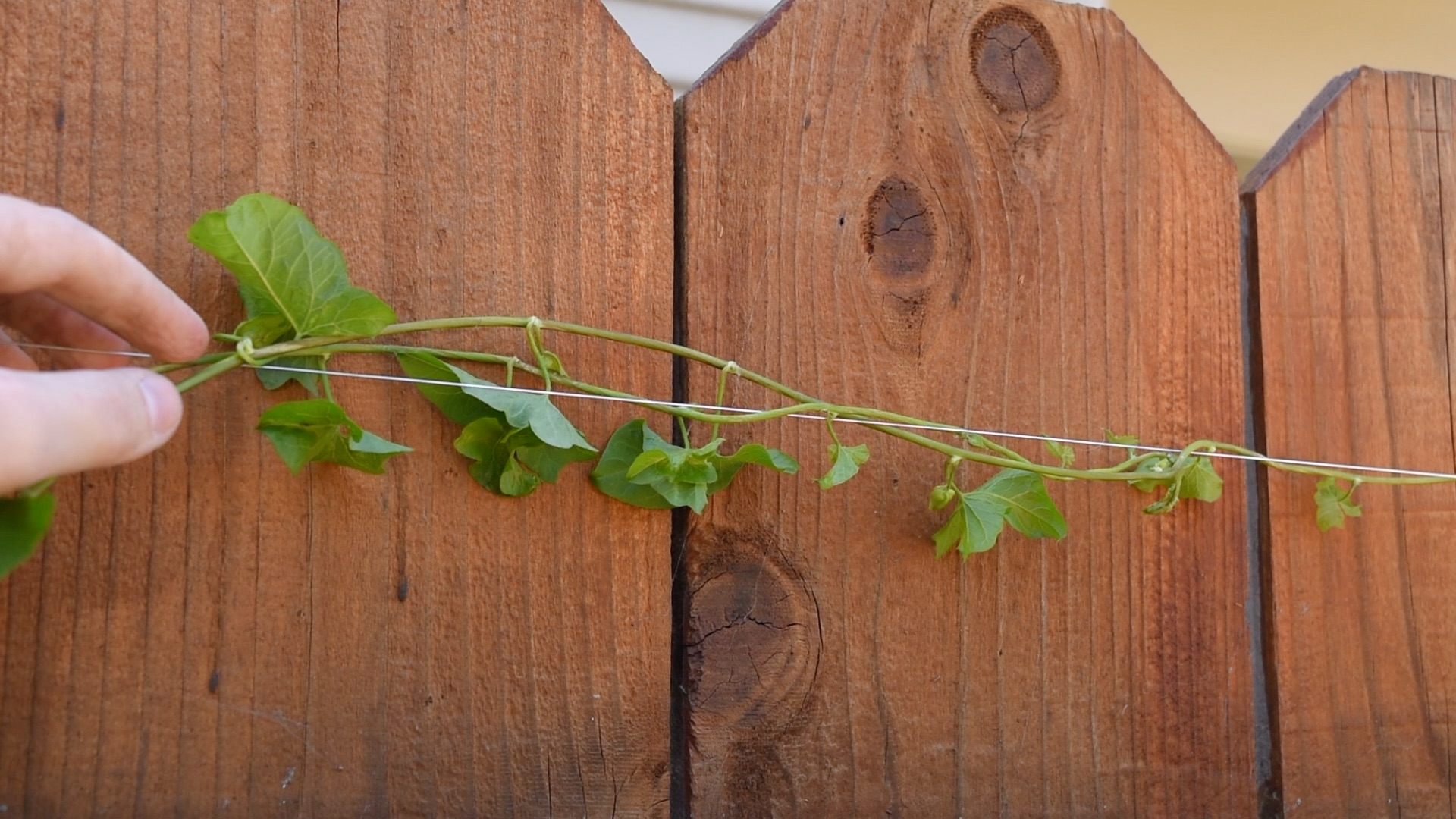 How To Train Vines To Climb A Fence A Video The Gold Hive