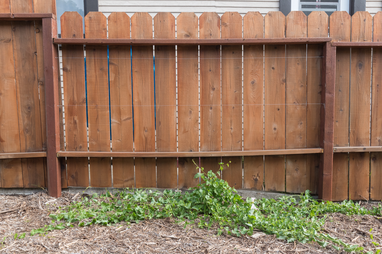 The Gold Hive How to Refresh a Fence and how to train vines to climb a fence