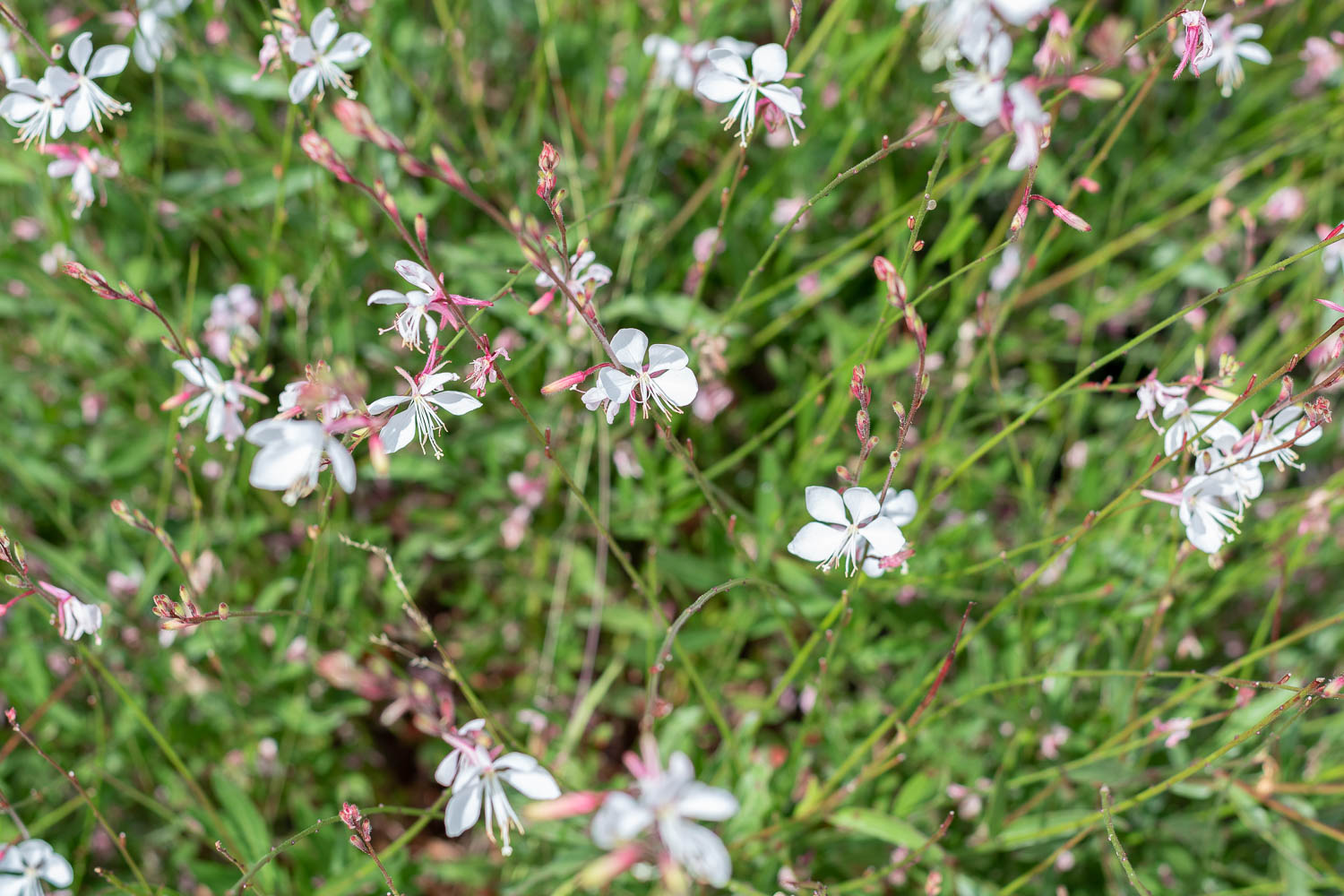 Guara - This dainty little spring/summer flower is absolutely adored by the bees. The body of the plant sits low to the ground, but tall thin stalks shoot up and groups of white flowers bloom. They are super wispy and pretty in the wind. I have to cut them back at the end of the season then I just wait for the new blooms the next year. We planted ours by the sidewalk so they wouldn't get blocked by the bigger plants - yet they still grow tall enough that I can see them over the other shrubs.