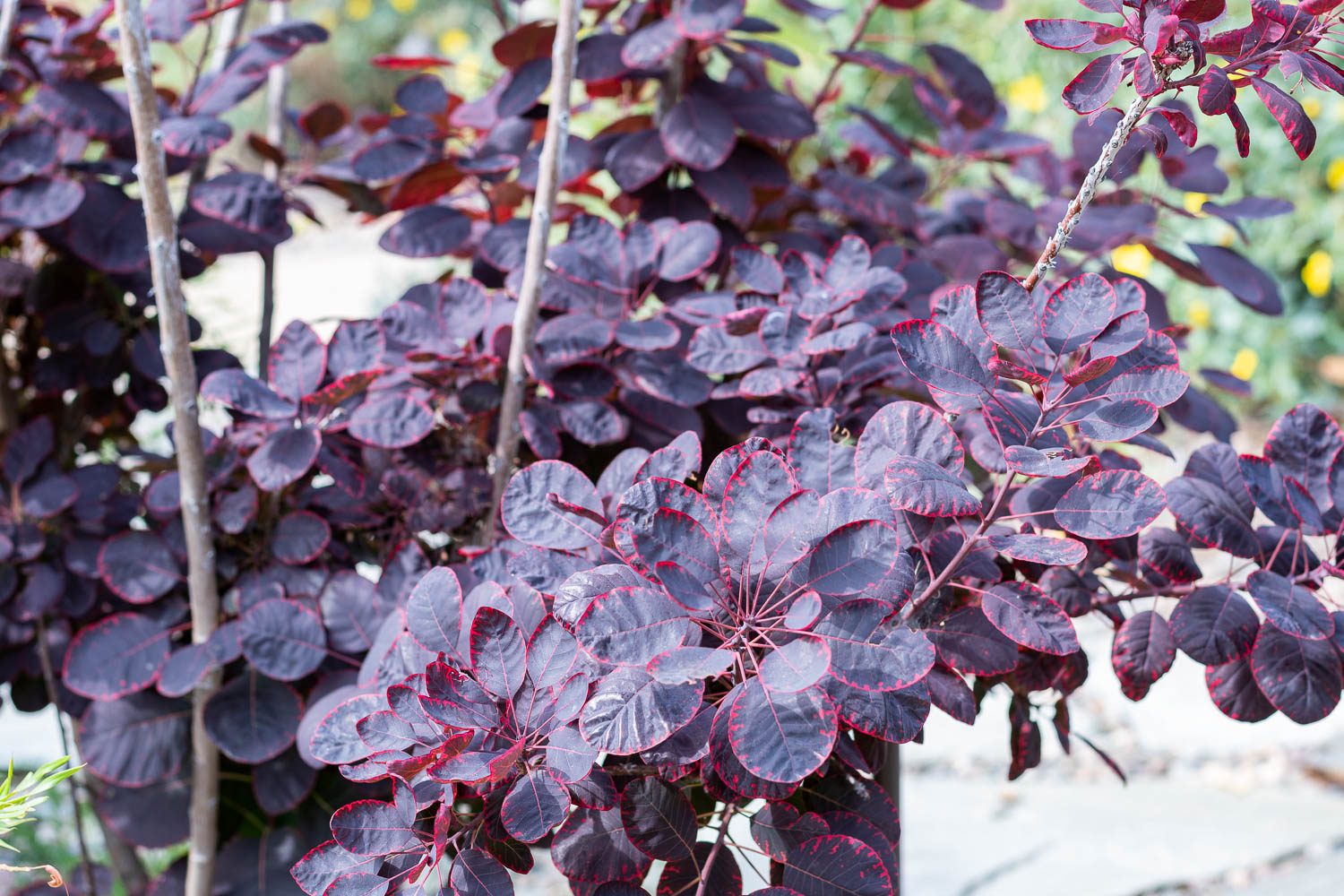 Purple Smoke Tree - This little tree has taken its time growing into its true self. It's still in a funny adolescent stage with leggy stalks and no showy flowers. I fell in love with it for the fluffy, smokey, flowers (click the button to see) but this tree hasn't quite matured into a flower-developing fella. However, those pretty variegated leaves and burgundy color are still gorgeous and it adds nice height by the flagstone pathway. These trees also come in different hues including a pale green leaf with cotton candy flowers.