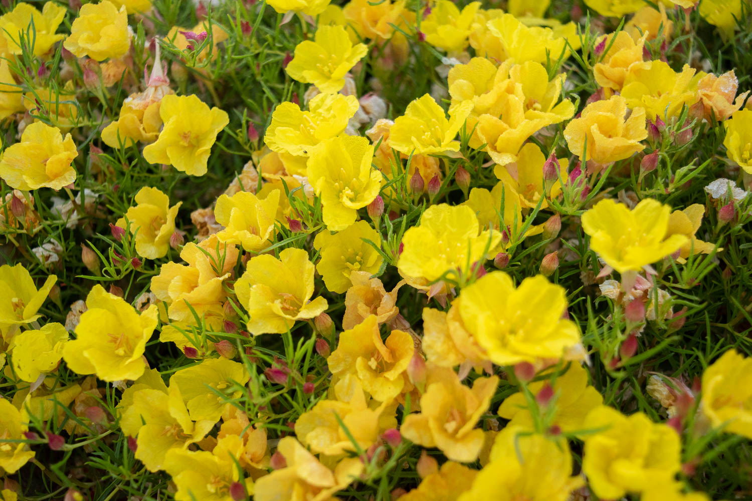 Sundrops - These little cuties are a nice little ground cover. They start out in early spring as red buds, then open into a blanket of bright yellow flowers. When first planted, the plant looked like a dead weed, but they've grown nicely and take up a lovely cover of the front yard. In the summertime they die back until spring.