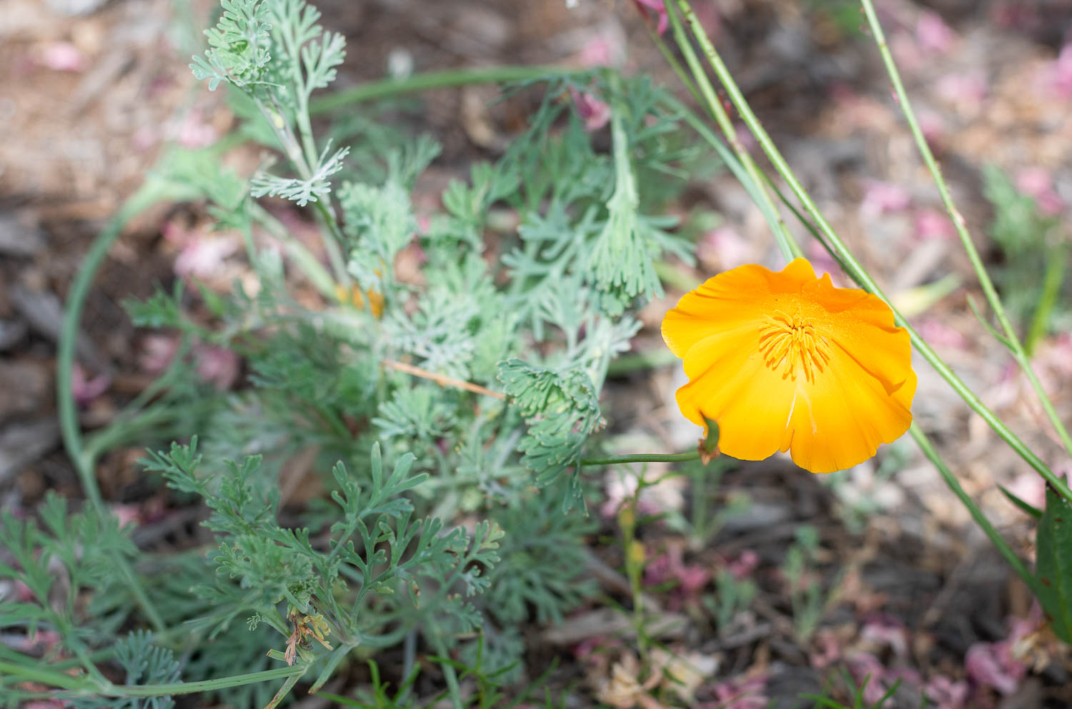California Poppy - This photo I managed to get doesn't do justice to these flowers because they are so pretty in big groups (you've seen the Superbloom, right?). These are all planted by seed and pop up in the springtime. We sprinkled them in the fall of 2016 and they bloomed like crazy for the next two years. But we didn't have as many blooms in 2019, so it's time to sprinkle more seeds for next year.