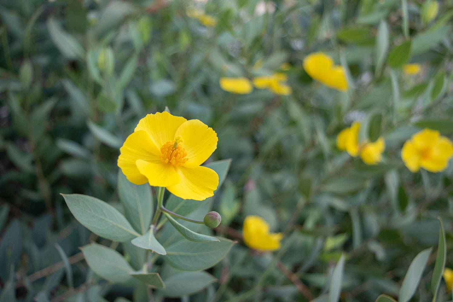Island Bush Poppy - This was one of my must have shrubs! It blooms all year long (seriously) and is has the prettiest pale blue-green leaves with a pop of bright yellow flowers. I like cutting these and bringing them inside for small arrangements.