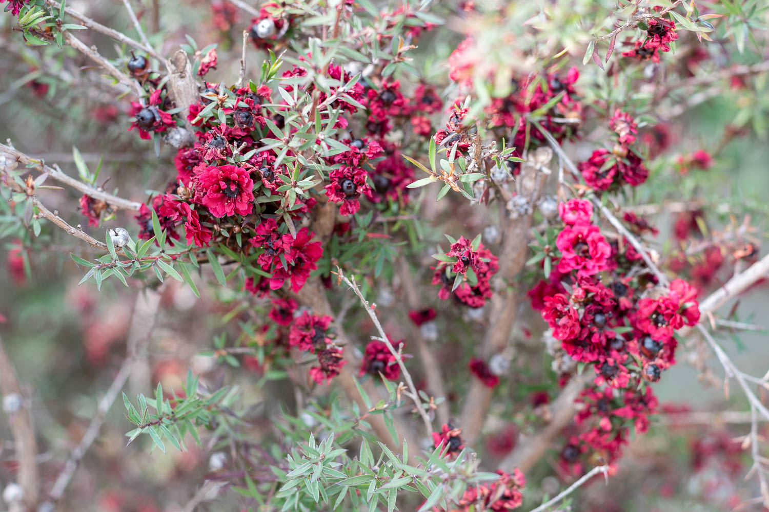 Ruby Glow Tea Tree - I normally gravitate to foliage that feels like I'm wandering the leafy woods in the Pacific Northwest, so I wanted to diversify textures with this tea tree. It has super pointy leaves and deep ruby colored tiny flowers. When it first blooms, the whole shrub is all bright red, but by the end of summer it's more of a brown-burgundy. I dig it.