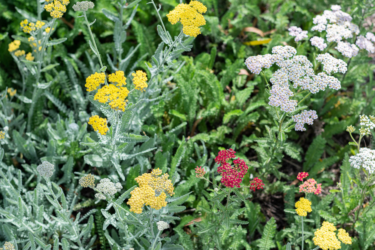 Yarrow - Yarrow comes in a billion colors and we have it in the white/yellow/red/pink hues. The flowers bloom as cool flat-topped mini flower clusters and the leaves are all different hues depending on the flower color. We planted them in the driveway to be a colorful ground cover, so it came as a surprise when they grew to be about 2 feet tall! To keep them from getting too crazy, I cut back the flowers to the ground each fall when the color fades from the blooms. I've heard of the flowers being used as dyes and even being brewed as a tea - this is on my to-do list.