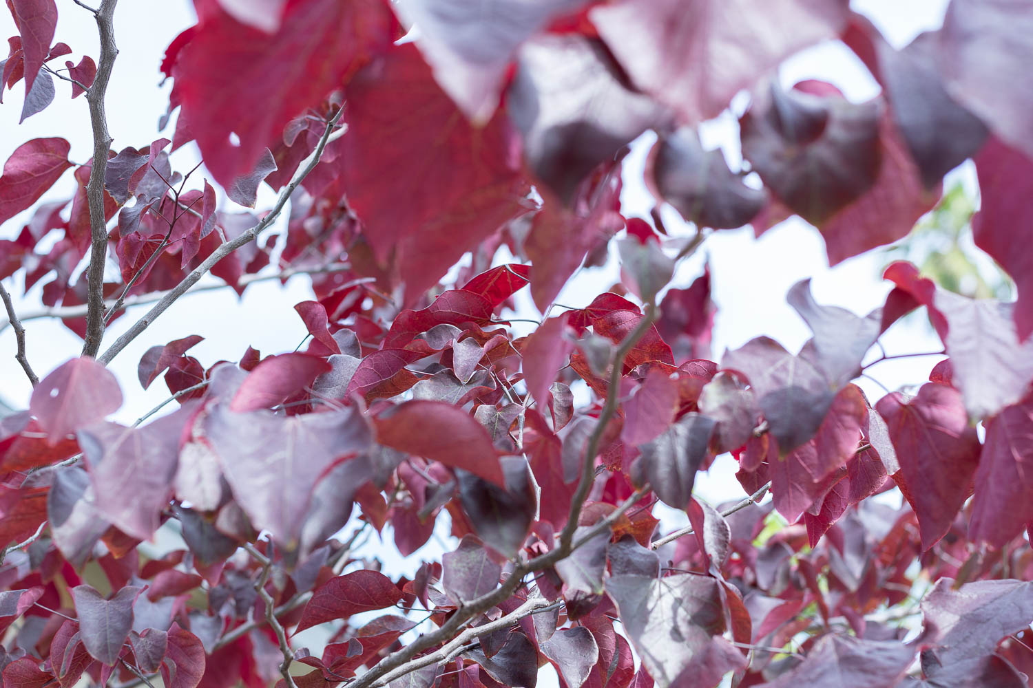 Western Redbud - Ok, I mean it when I say that this is my favorite tree. It seriously amazes me. It loses all of its leaves in the winter, then come early spring lovely clusters of pink flowers bloom all along the branches (click the button below to see!), then the flowers fall off and tiny purple-red heart-shaped leaves start to fill in. As the season turns to summer, the leaves turn green, and then orange, and then yellow by fall when they drop to the ground. San Diego doesn't get much in the way of leaves changing, so it's a treat to have this one do just that - and it's native. But the kicker is those pink flowers - it's so cool to see the branches covered in florals without any leaves.