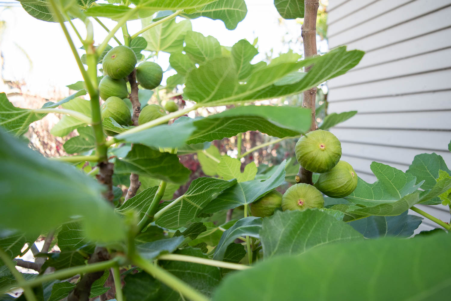 Brown Turkey Fig Tree - We planted this fella for the fruit - I simply adore figs. But it turns out the leaves are also amazing. I make ice cream using the leaves, so it turns out the whole tree is edible! The only issue we have is Sheryl, our backyard opossum, tends to eat the figs before we can.