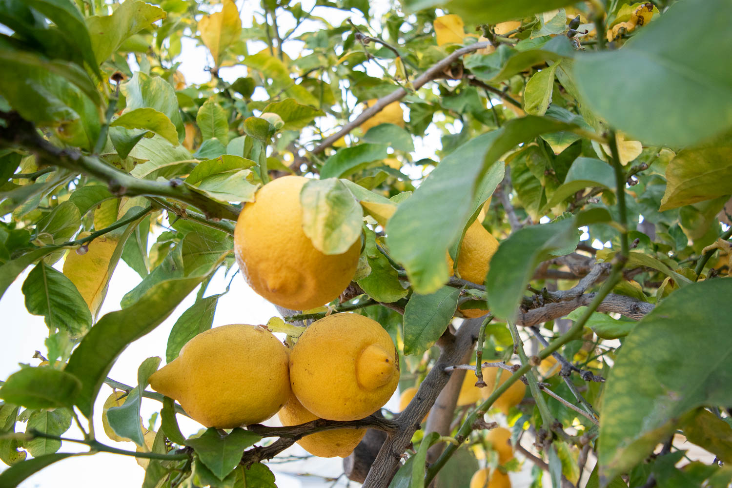 Lemon Tree - This tree was here before we bought the house and this citrus lover wouldn't dare get rid of a mature lemon tree. It yields so many fruit that I spend an entire day picking, sorting, cutting, juicing, straining, and freezing them. I'm not complaining though because I have lemon juice for years stored away in my freezer.