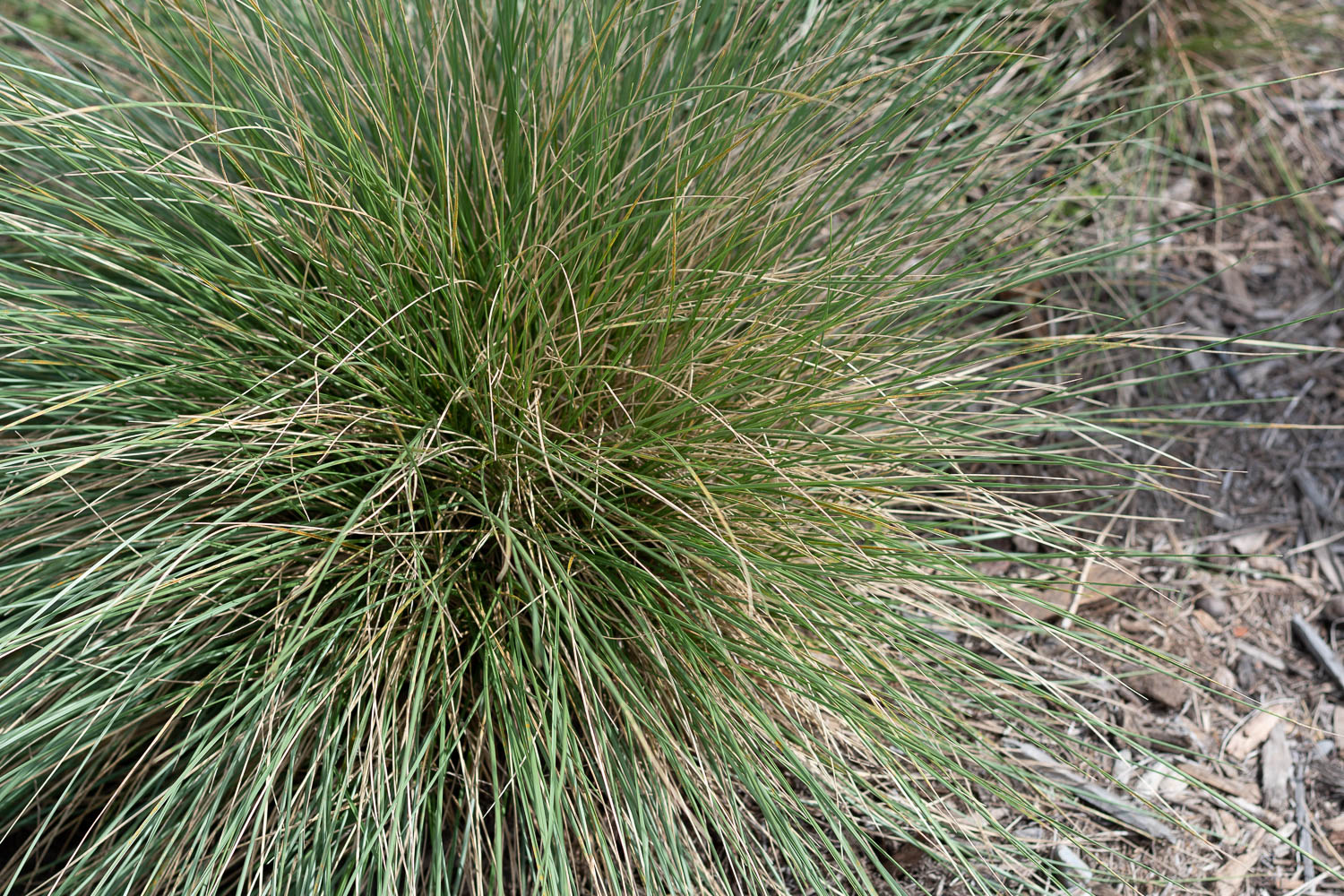 Marie's Fescue - These tall grasses provide a meadow-like vibe. They've grown really large and blow in the wind when they aren't being sat on by neighborhood cats - apparently they make nice feline cushions, too! The grasses can start to look brown towards the end of the season so we trim them back and try to avoid cutting the green parts of the grass. Since I don't want to just cut it off and have it look like a bad haircut, I weasel in and trim the brown grasses by the base. It's a bit of a process but a good podcast helps with the tedious task.