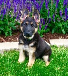 Tiffany Bartley kept a puppy from the Selena x Cowboy litter, born Feb.12.