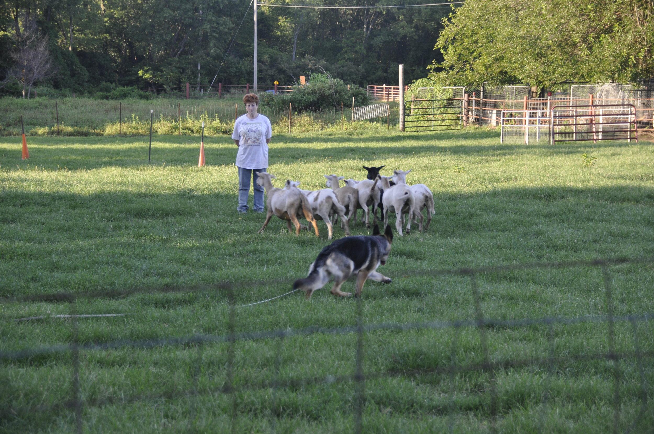 Above, Cathy Lowe herding with  Sally Hamm's Heid i