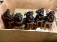 puppies becky.JPG