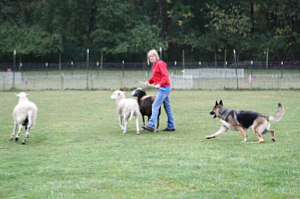 Sally Hamm  reported that  Heidi  earned her HT (Herding Test) at the Nationals.