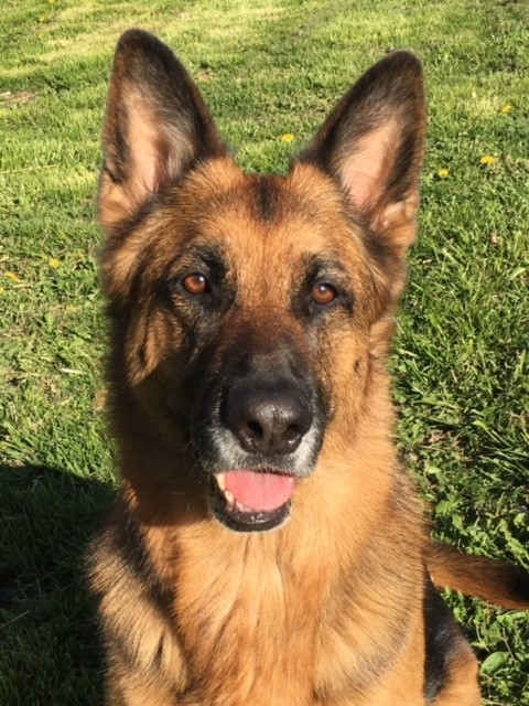 Trinity  earned her TKN (Novice Trick Dog) & TKI (Intermediate Trick Dog)