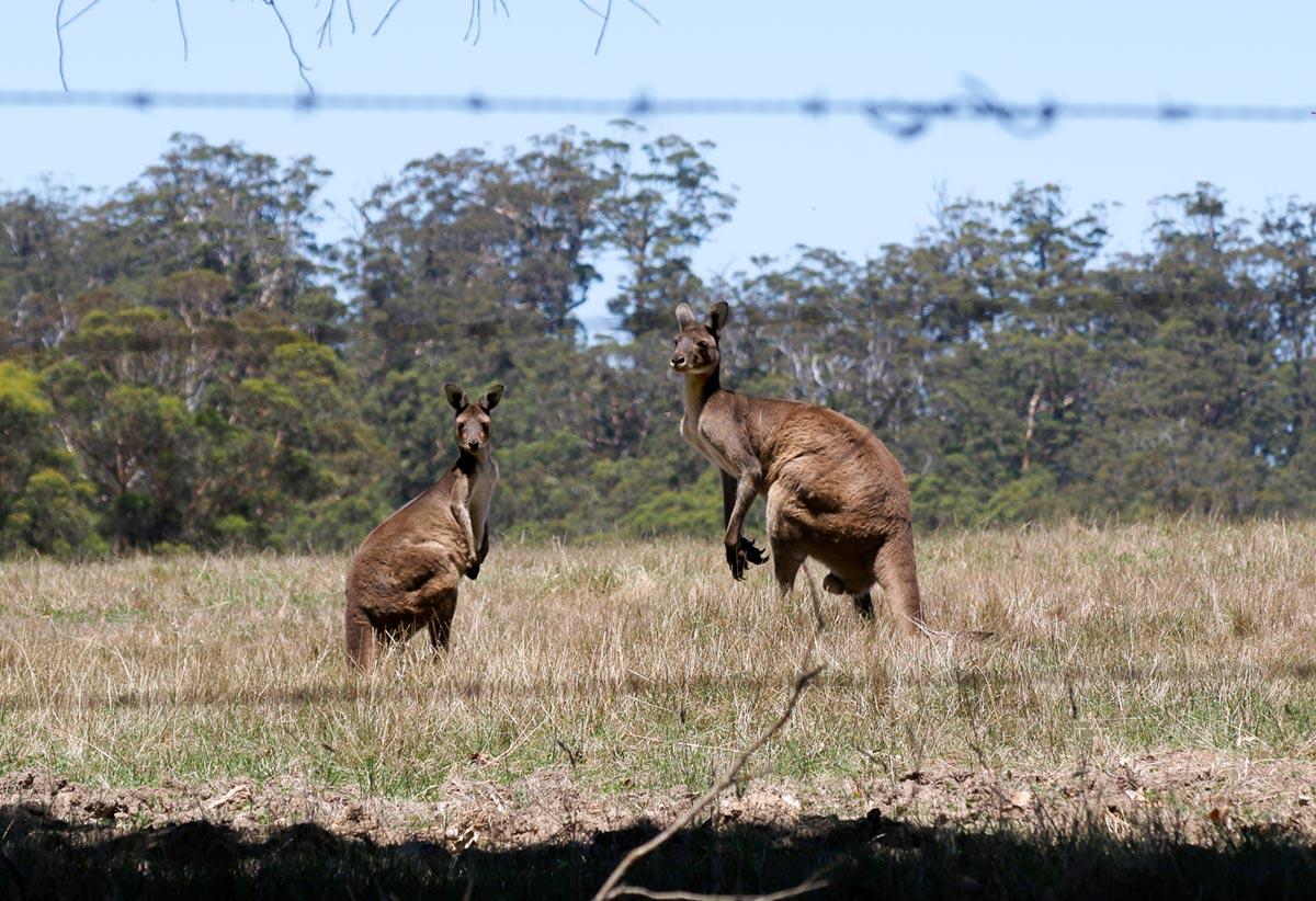 Kangaroos_Original_50.jpg