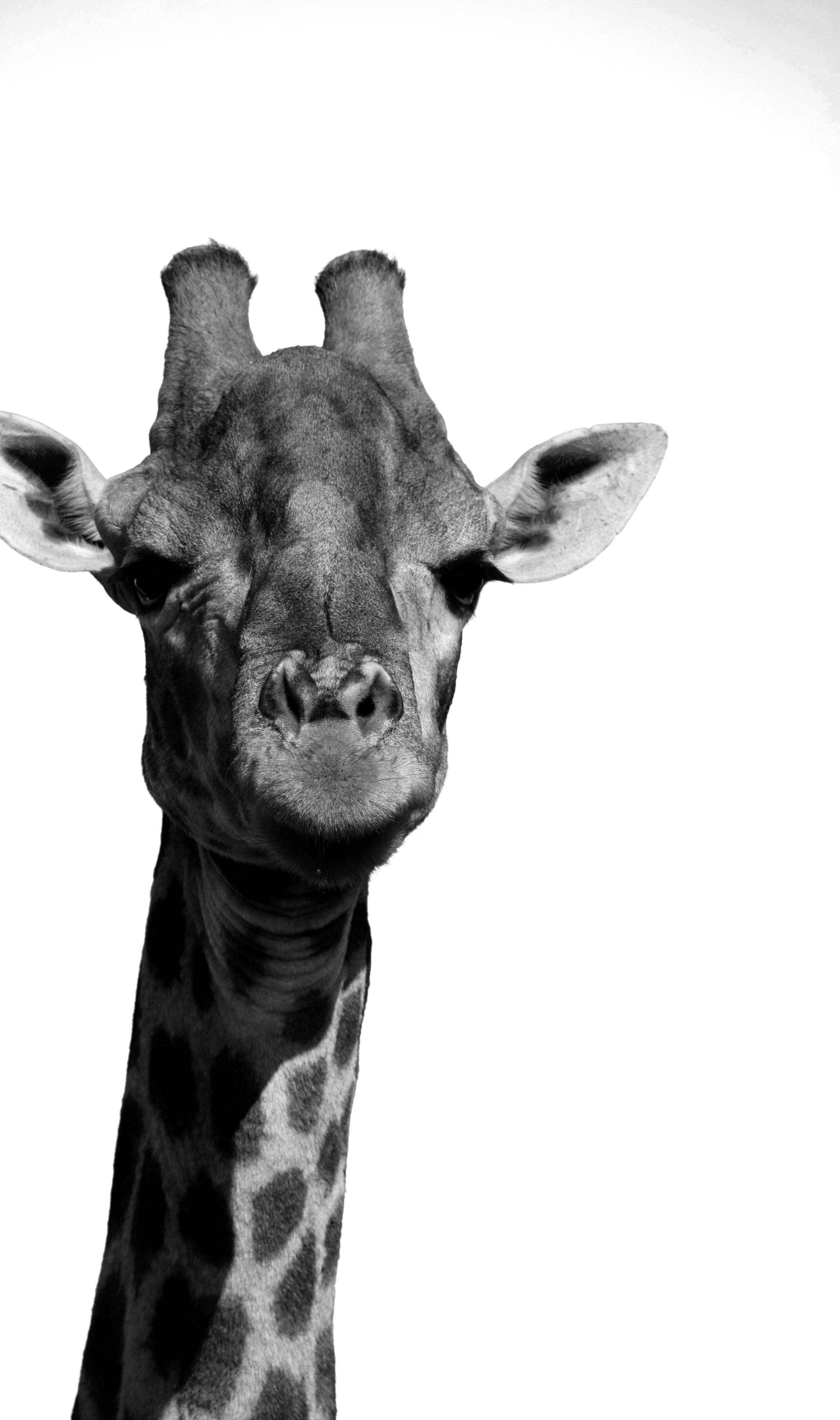 SA Giraffe PS.jpg