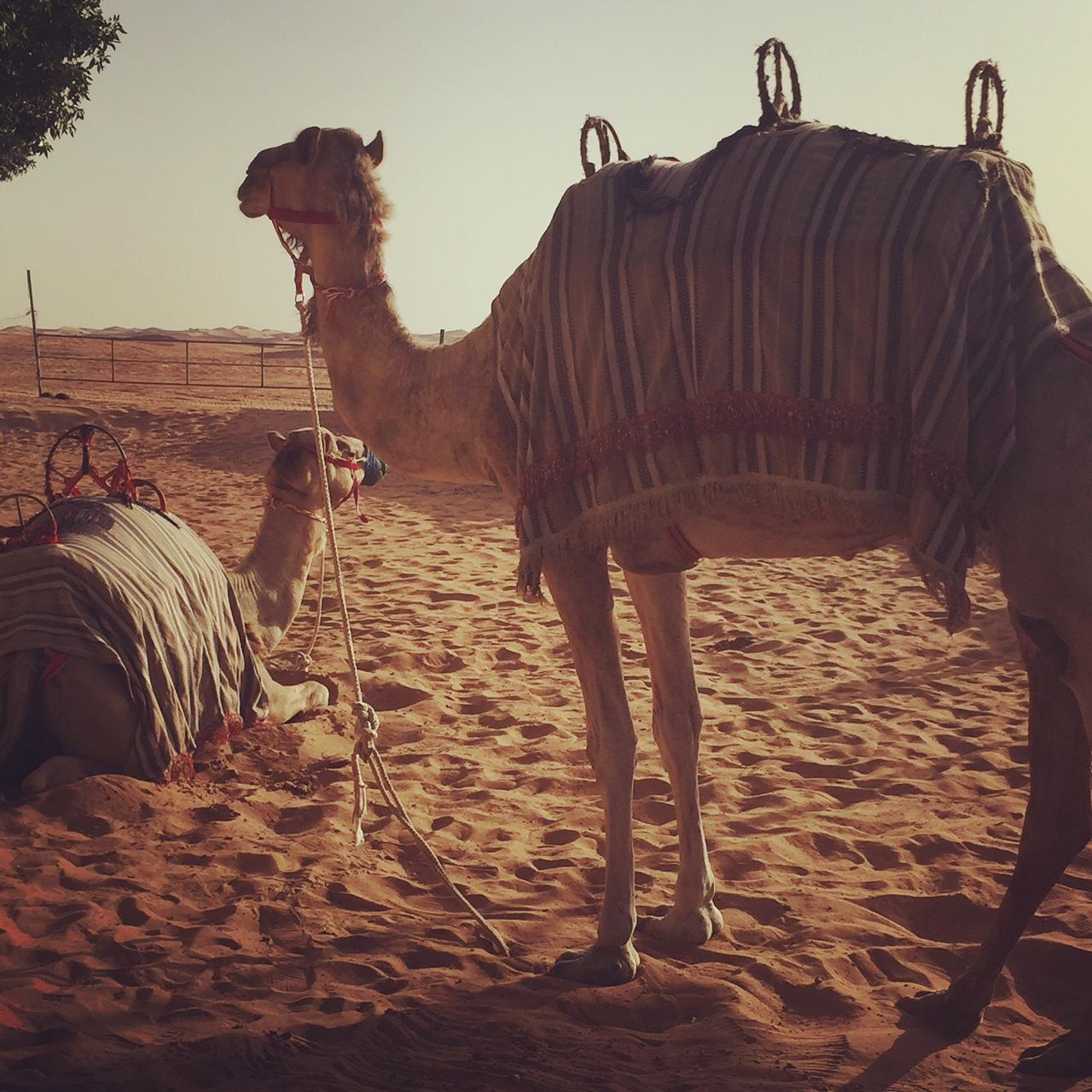 Dubai desert camels