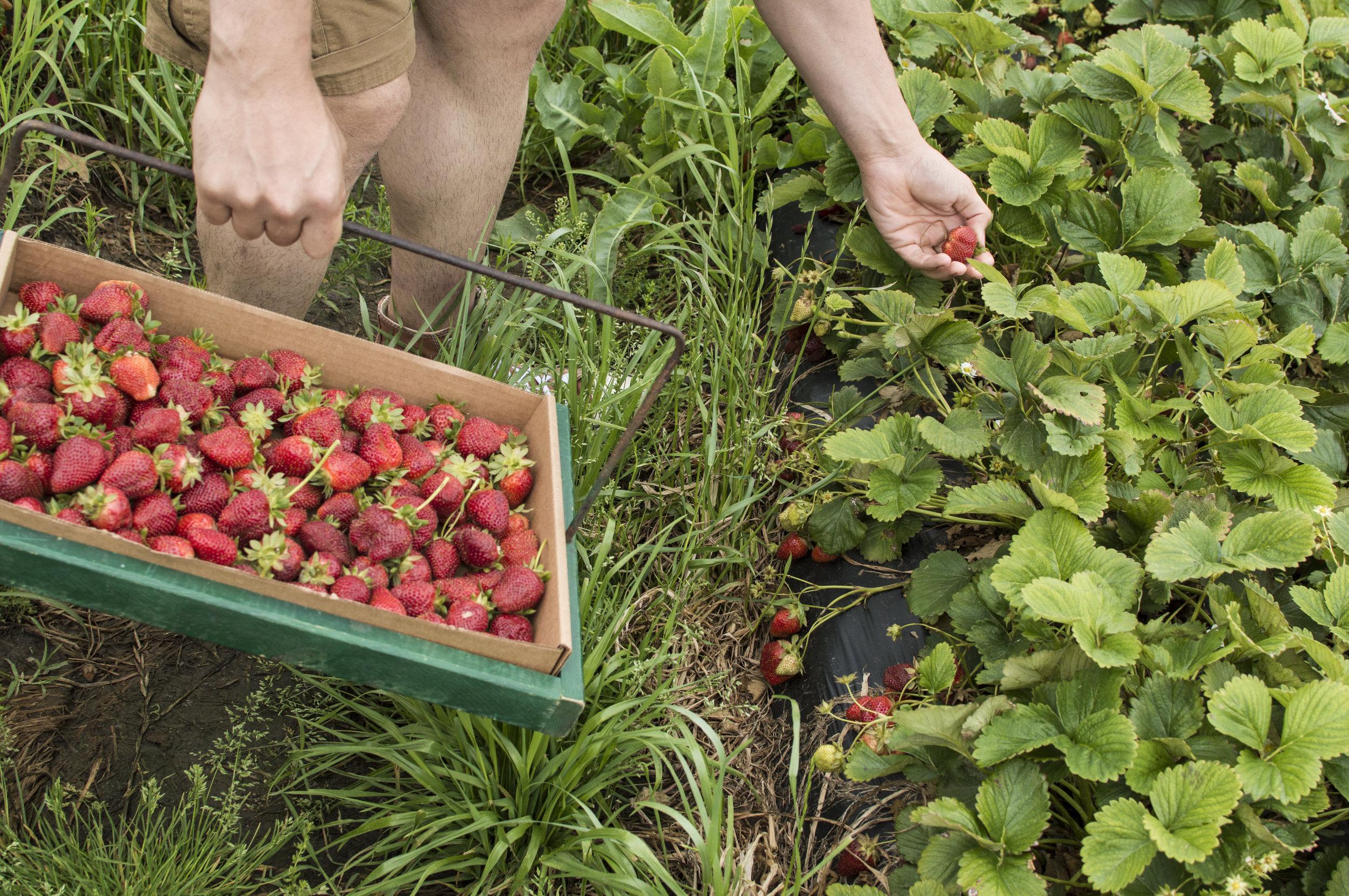 Strawberries903-8.jpg