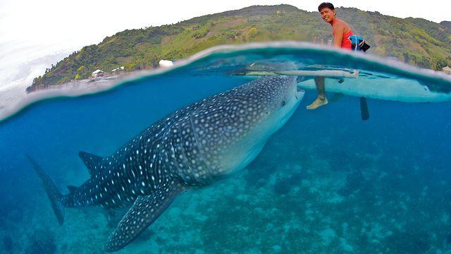 Donsol Whale Shark 5.jpg