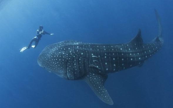 Donsol Whale Shark 2.jpg