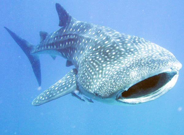 Donsol Whale Shark 4.jpg
