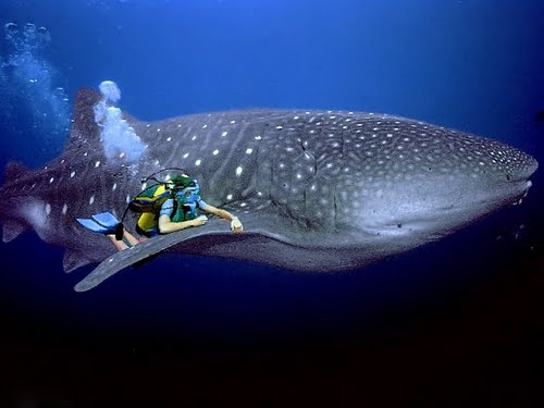 Donsol Whale Shark 1.jpg
