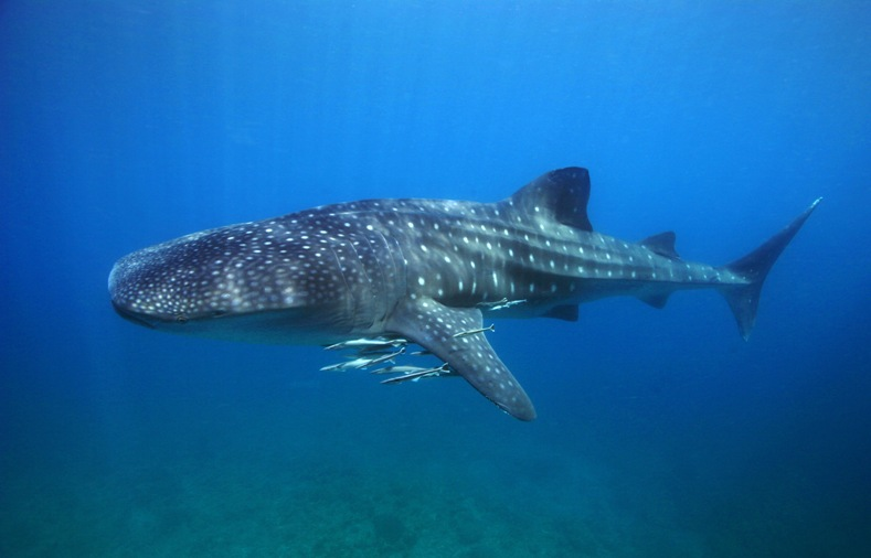 Donsol Whale Shark 3.jpg