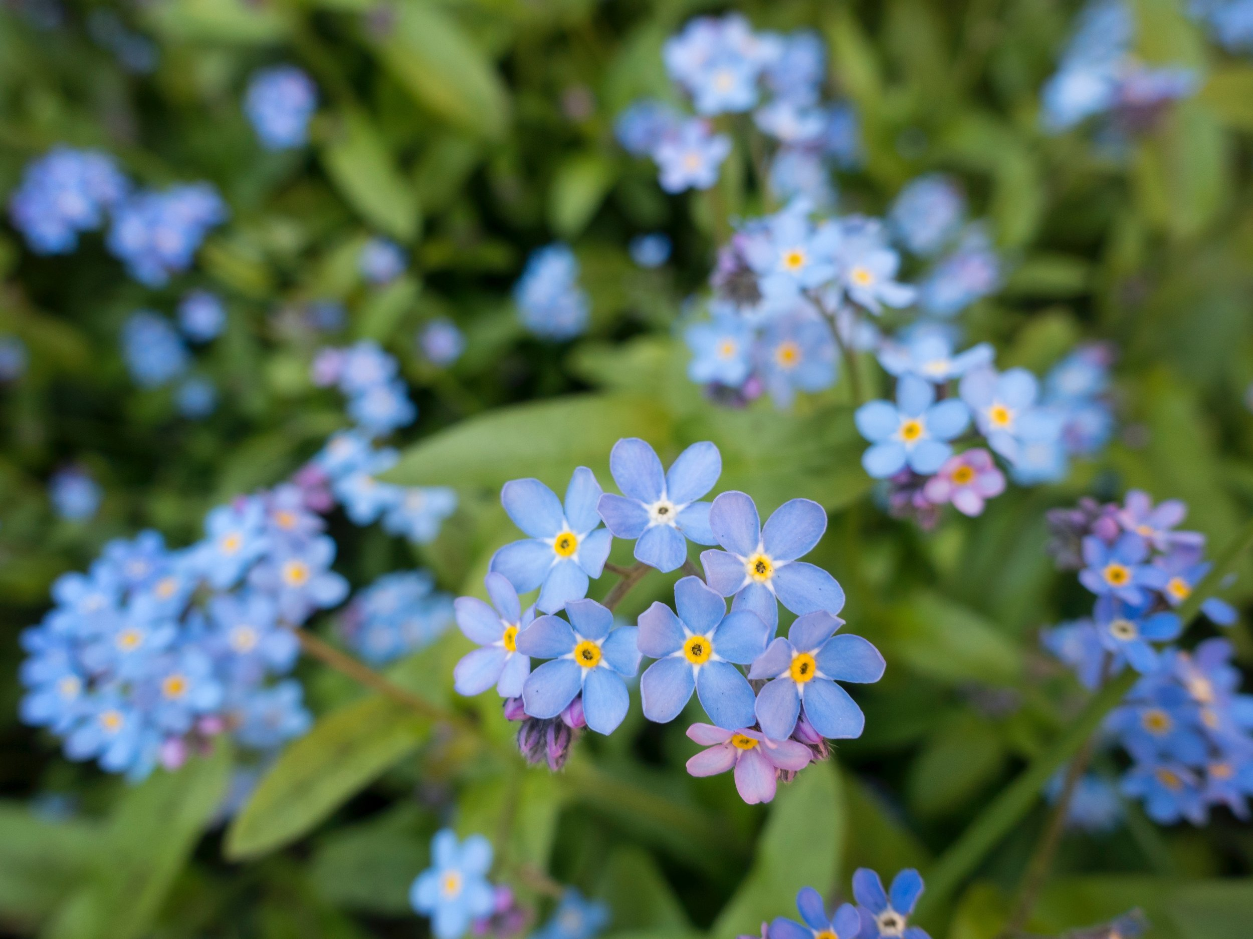 Massage and Me Dementia Cafe Buckhurst Hill Forget-me-not