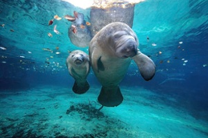 west-indian-manatees-james-rd-scott-1.jpg