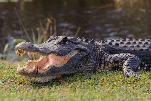 florida_alligator.jpg