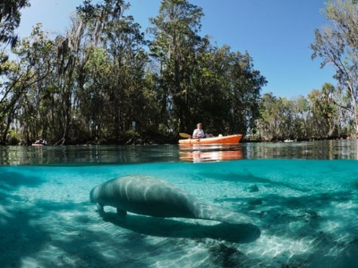 Kayak Manatee in Springs.jpg