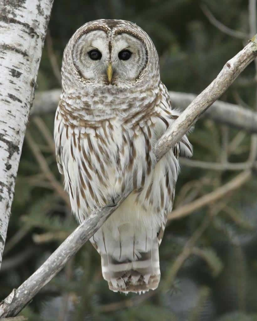 Barred_Owl_m50-4-005_l.jpg