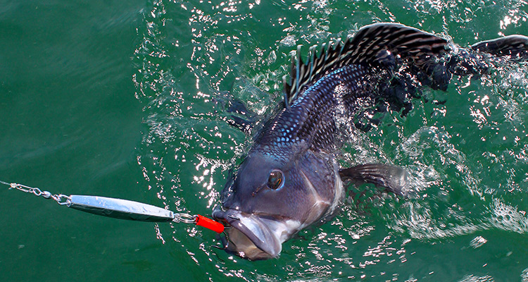 Black-Sea-Bass.jpg