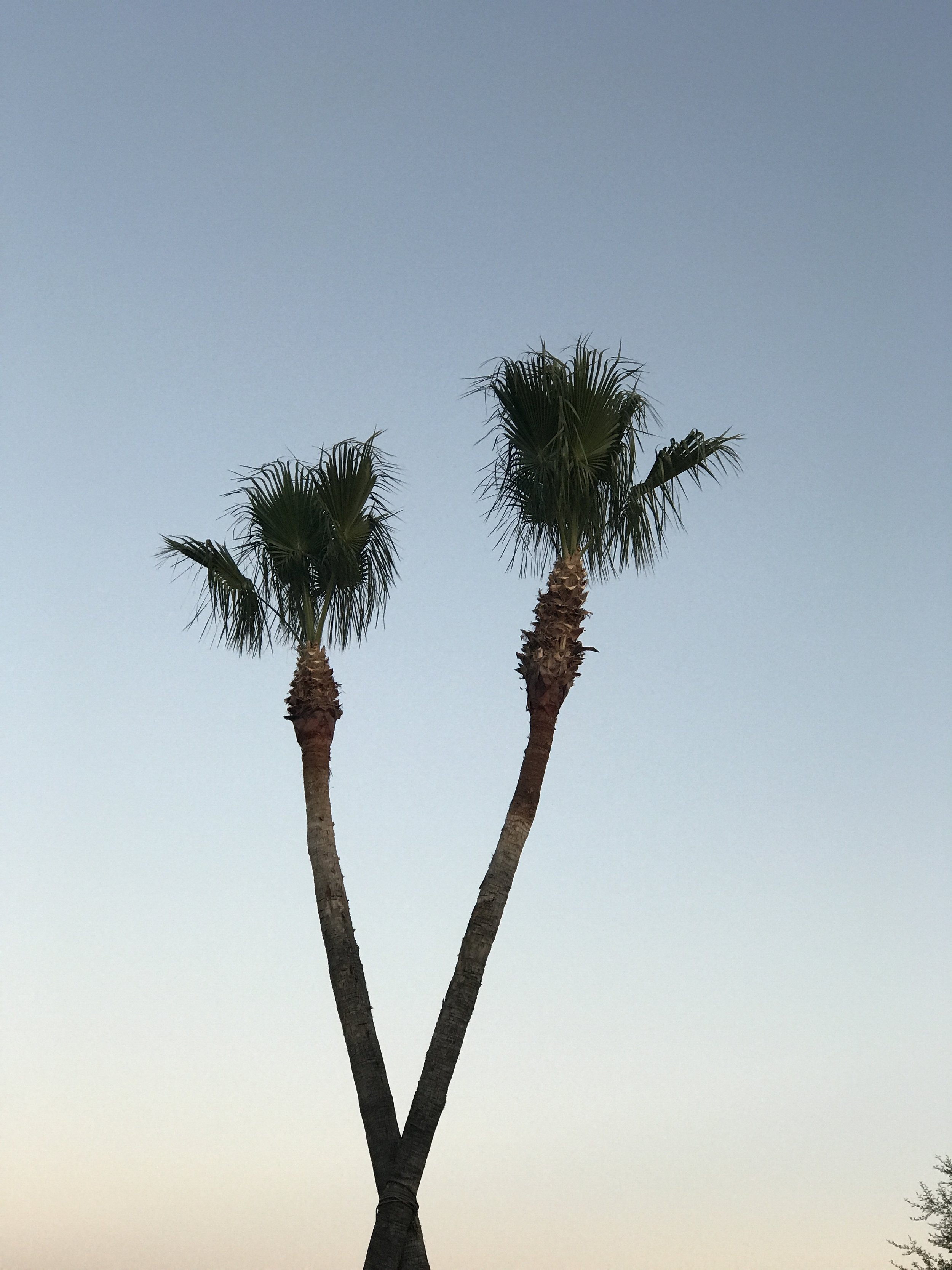 Had to capture these two palm trees hugging each other as we left  In-N-Out.