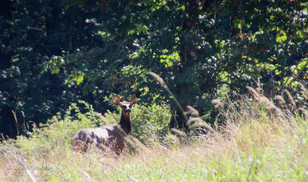 Elk at Green River Natural Area