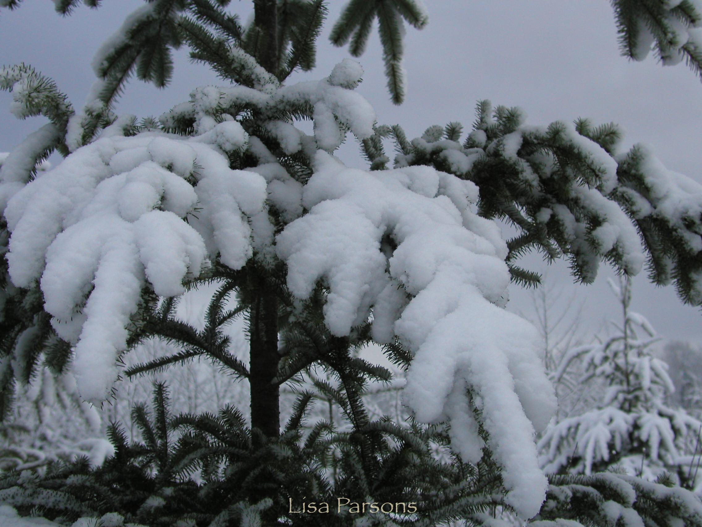 Snow Covered Douglas Fir