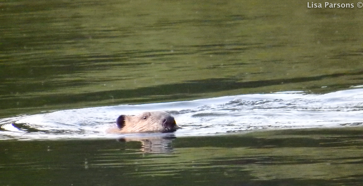 Beaver Swimming in pond in the evening