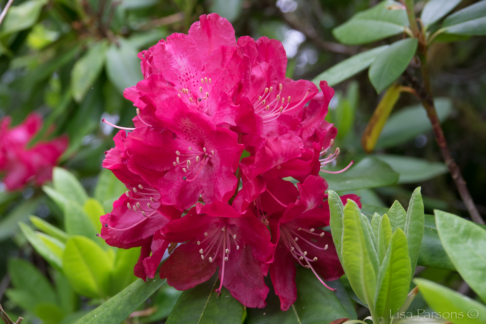 300 Species of rhododendrons