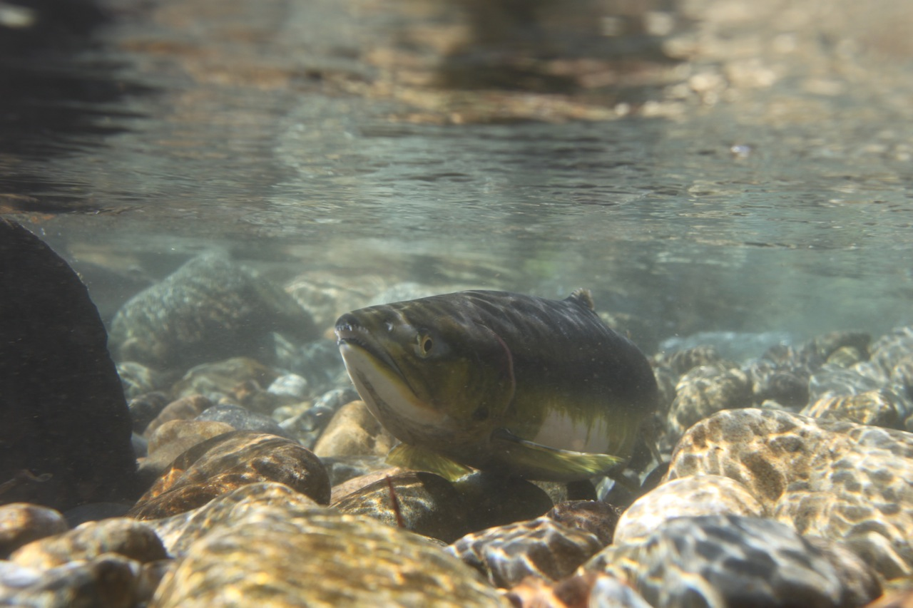 Chinook Salmon in Icy Creek