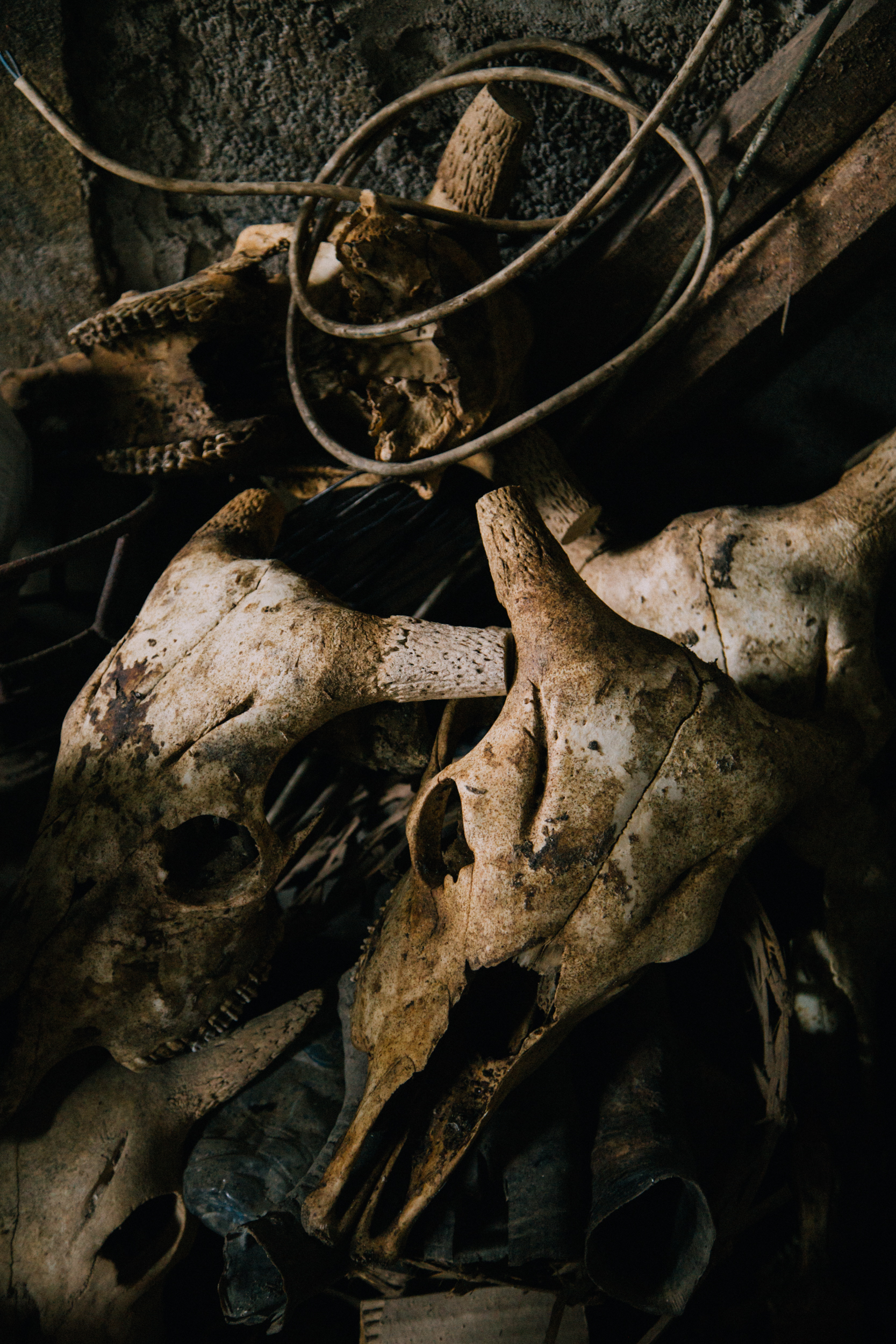 Cattle skulls prepared and stored for carving.