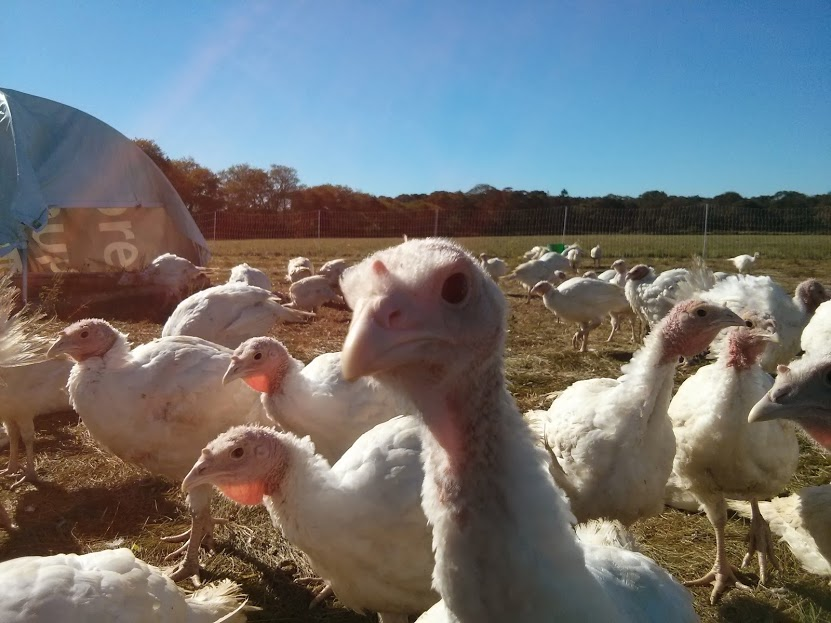 turkey in the field closeup.jpg