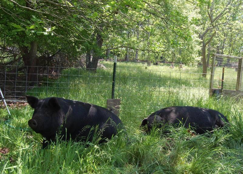 Swine in the shade