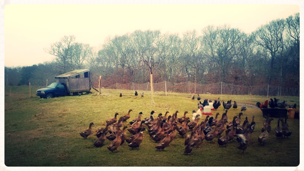 Ducks learning the ropes with anti-road access fencing as training wheels