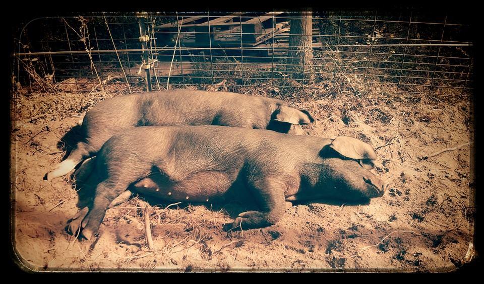 spooning pigs.jpg