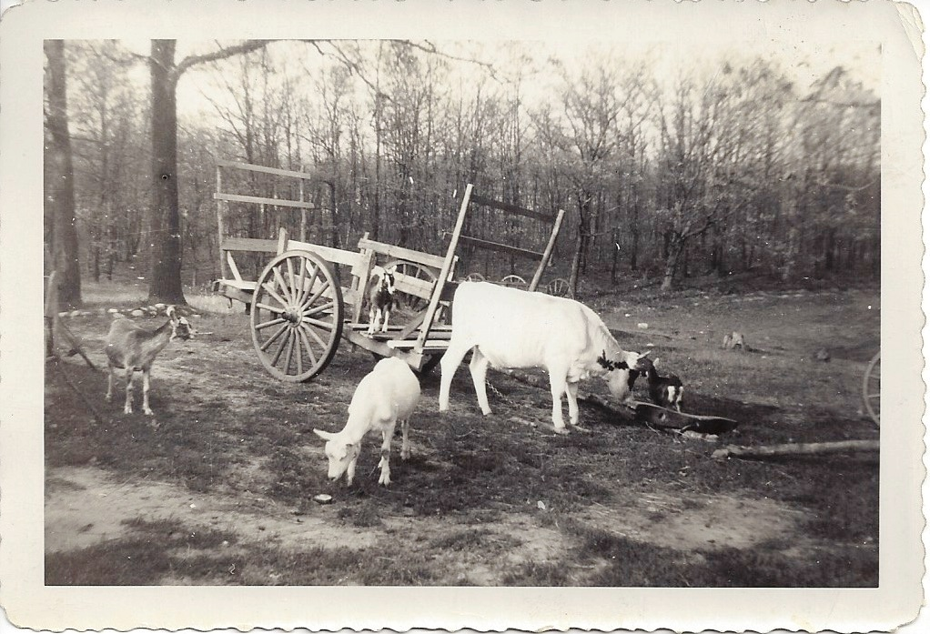 Goats and haywagon. Photo by Gert Kuja. 1943 [Note barren landscape.]