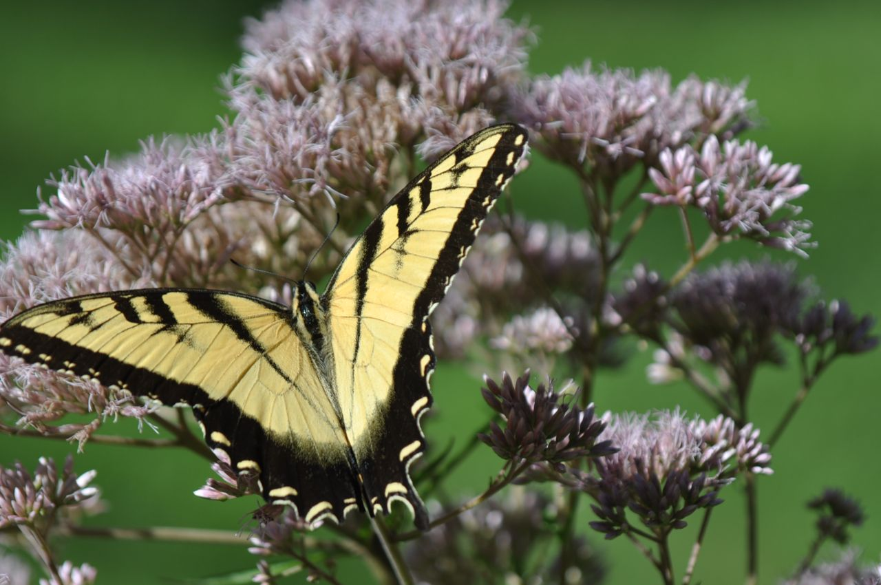 tiger_swallowtail_butterfly.jpg