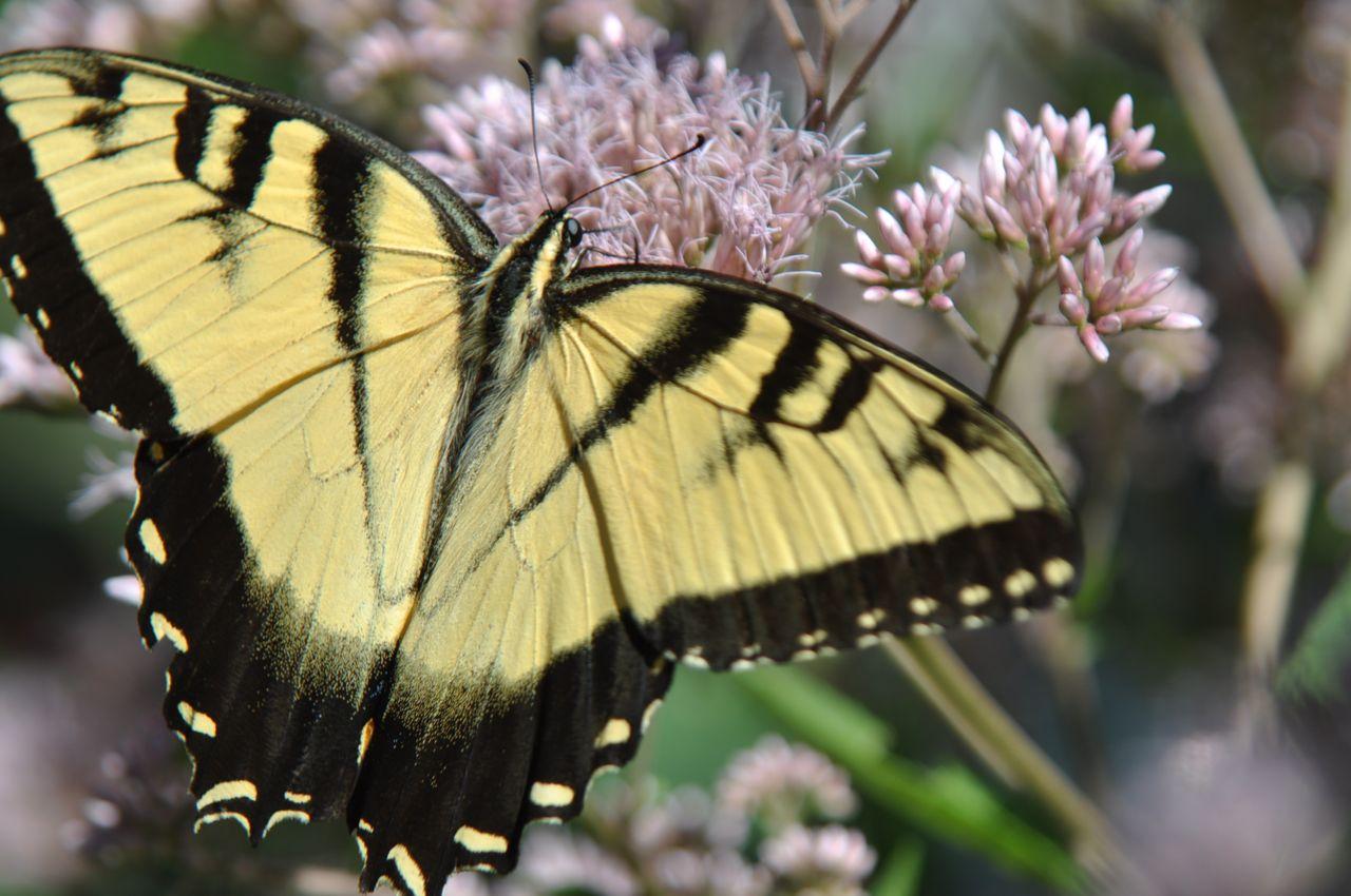 Minnesota_Butterfly_Gardening